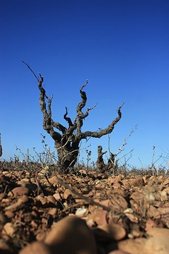 Hundred-year-old vines at Domaine La Barroche